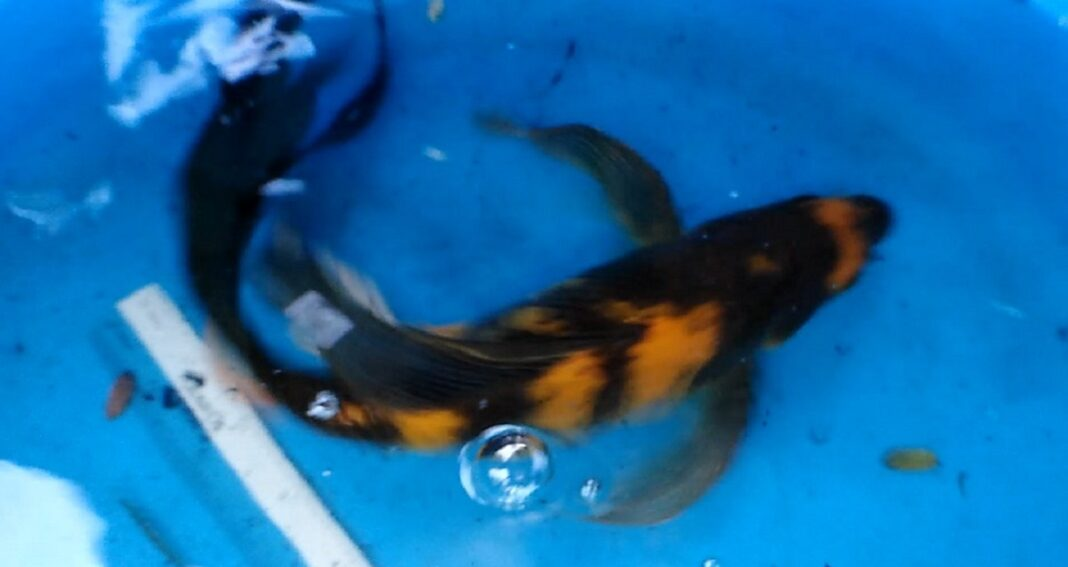 butterfly koi fish you need to know 1