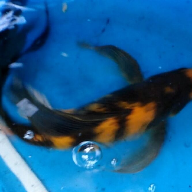 butterfly koi fish you need to know