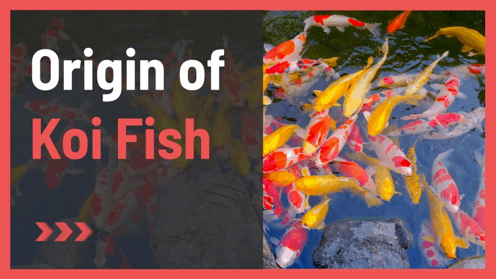 Origin of koi fish